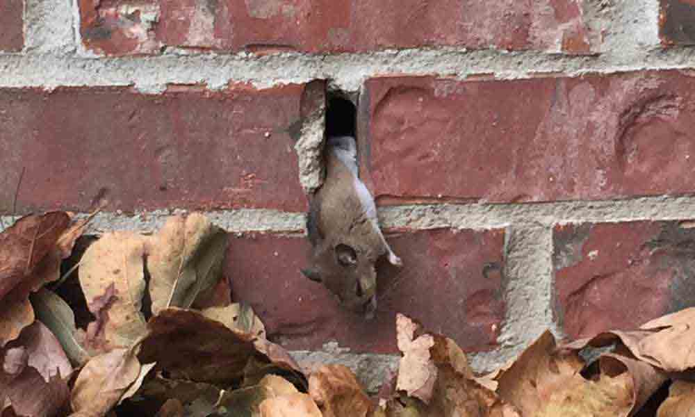 mouse in wall before weep hole cover